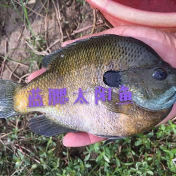 蓝鳃太阳鱼