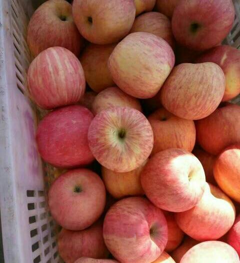 山東省日照市東港區 棲霞冷庫蘋果價格煙臺冷庫紅富士蘋果價格蓬萊冷庫蘋果基地