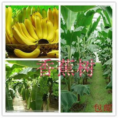广西壮族自治区钦州市灵山县海南蕉苗