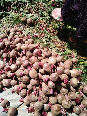江苏省徐州市铜山区红甜菜 15cm以上