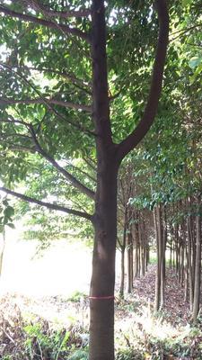 广东省揭阳市普宁市桂皮树