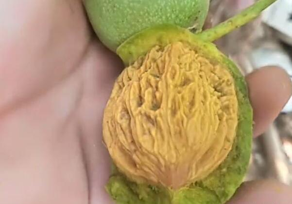 果实里的文玩核桃