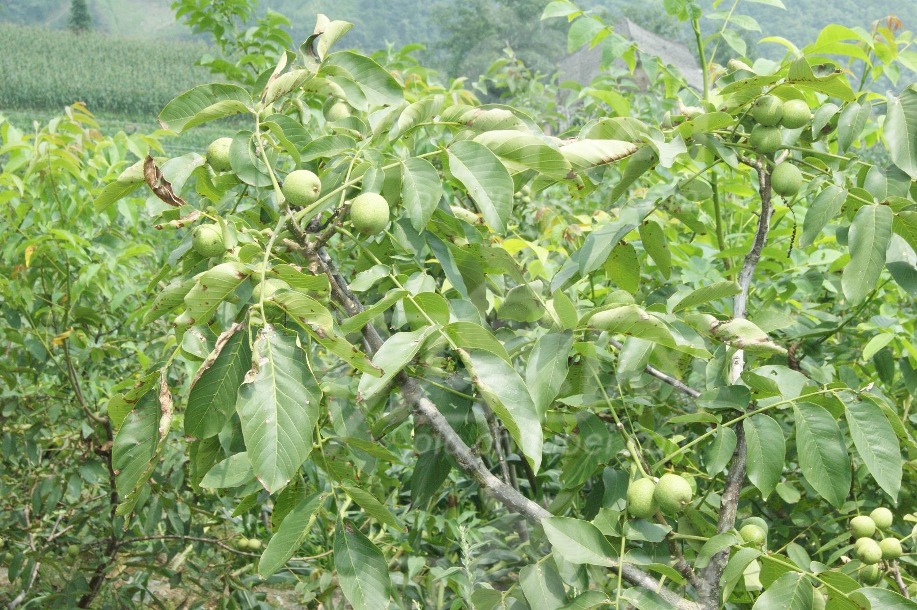 结核桃的果树