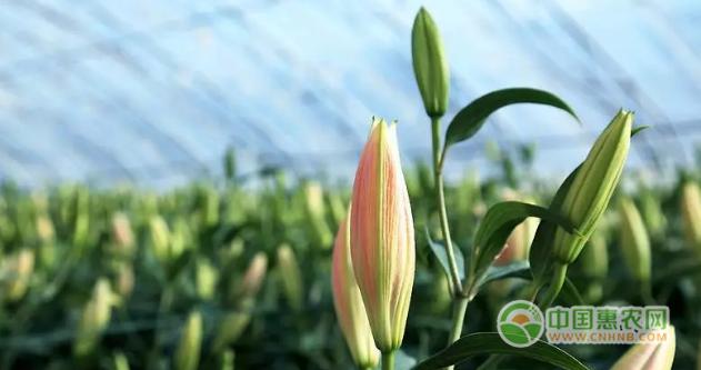 柳东伟还依托政策支持,搭建起了20个大棚开始进行百合种植