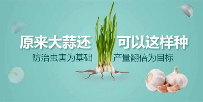 作为大蒜种植户,你该了解这些种植技术!