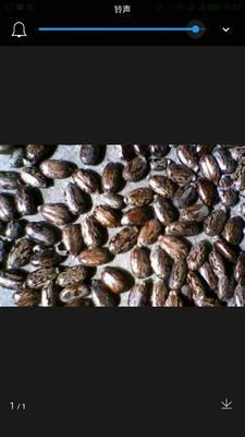 吉林省长春市榆树市蓖麻种子