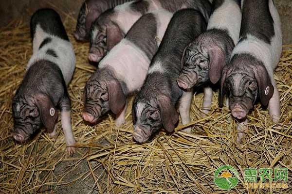 酒糟喂猪既环保又节约