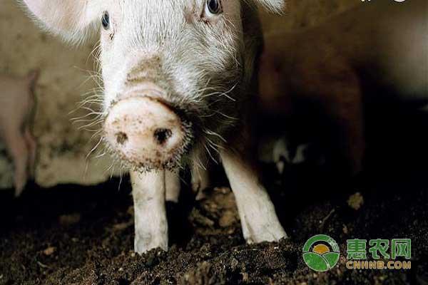 很多人使用酒糟喂猪既环保又节约!并且营养价值高