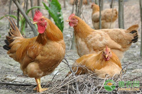 农村土鸡比养殖鸡价高10倍 肌肉发达味美市场广阔