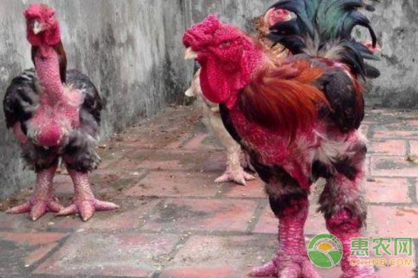 东涛鸡:相貌丑陋的越南皇室贡品 一对鸡爪高达万元