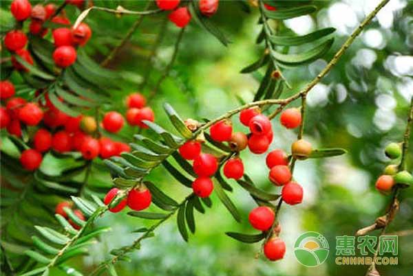种植红豆杉走上致富之路
