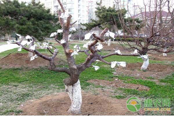 减少树木生长培植周期嫁接技术