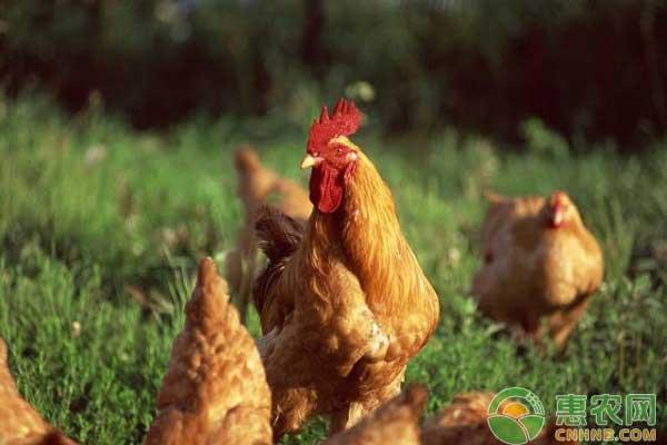 鸡价市场行情分析