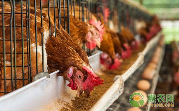 鸡群常见拉稀性疾病的症状与鉴别要点
