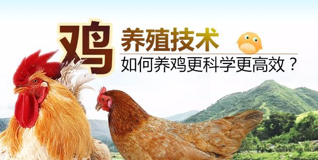 鸡养殖新技术:如何养鸡更科学更高效?
