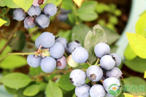 盆栽蓝莓种植要点