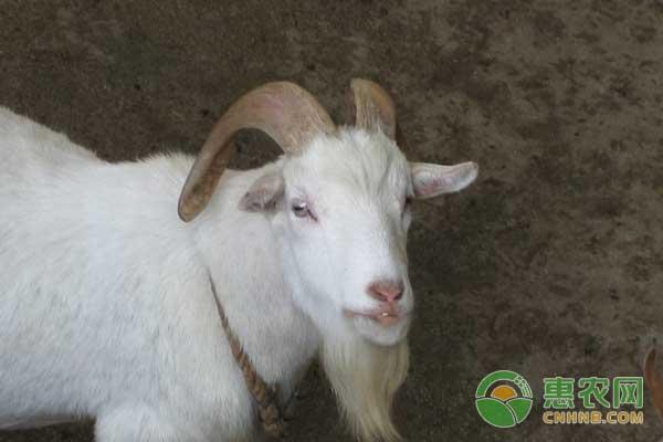农村养羊存在的五大误区