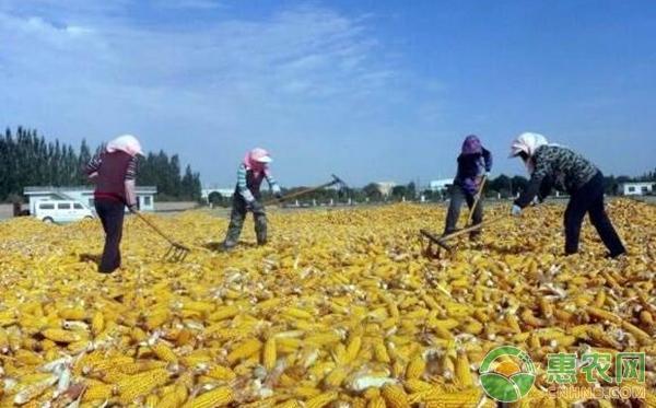 玉米补贴下发