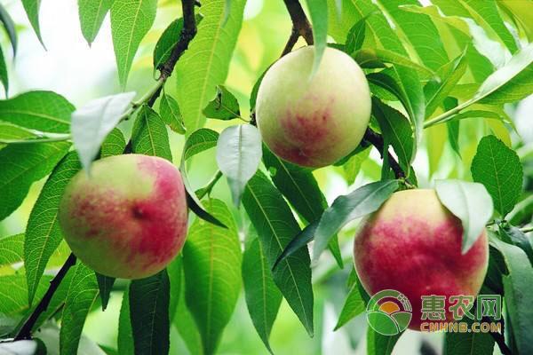 果树施肥技巧:果树叶面追肥注意事项