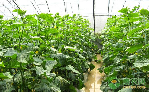 白露大棚蔬菜管理
