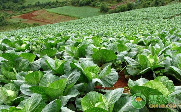 秋茬露地蔬菜管理