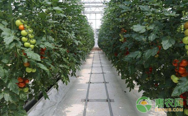 秋茬蔬菜白露管理技术要点