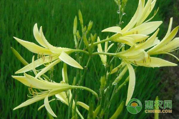 银江镇农民种植黄花菜每户增收一到两万元