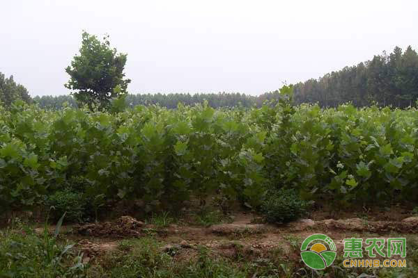 苗木市场行情分析:市场对苗木的需求持续上涨