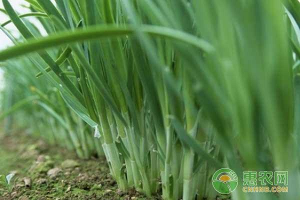 碱性土壤改良方法及种植韭菜技术