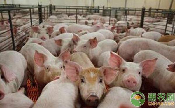 水果种植绿豆在生猪养殖中的妙用(附具体方法