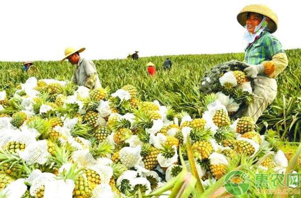 菠萝种植产业
