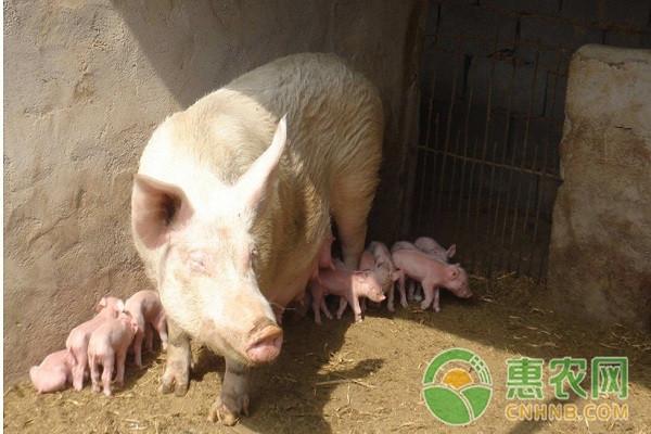 猪大肚子怎么办?猪大肚子的原因及治疗方法