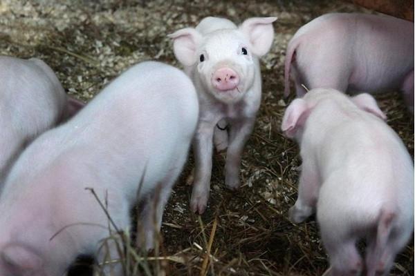 六朵金花回乡创业记:养猪让她们年赚千万!
