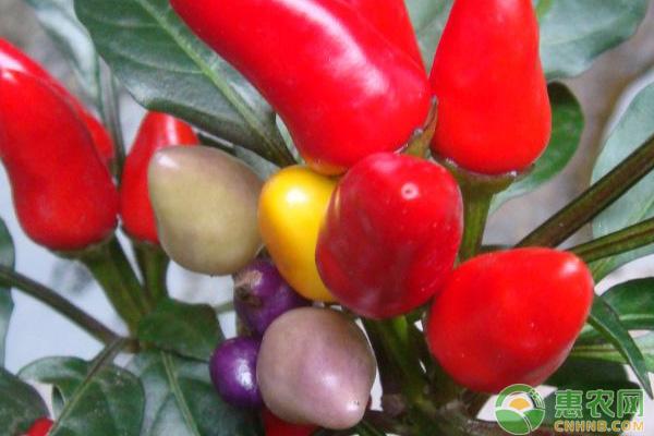蔬菜种植技术 七彩椒怎么种植