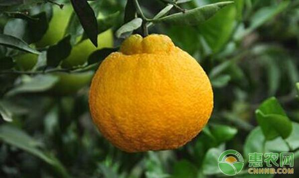 柑橘种植转色期,如何避免浮皮果?-惠农学堂-惠