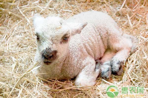 羊日射病、热射病由什么引起的?如何防治羊日射病、热射病?