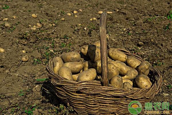 马铃薯价格行情