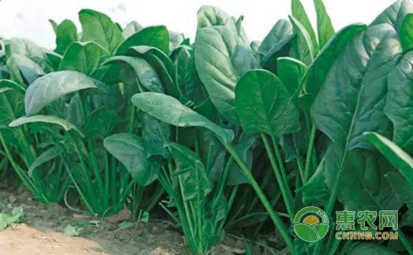 菠菜种植怎么管理?菠菜病虫害防治及除草方法