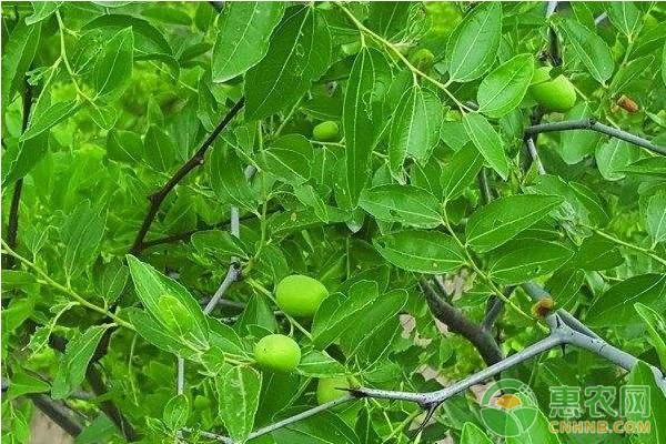 枣树怎么播种育苗?枣树育苗的几种方法介绍