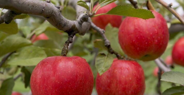 红富士苹果多少钱一斤?17年11月20日苹果价格行情