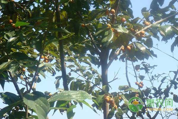 天云乡:水果盆栽成村民脱贫致富的摇钱树