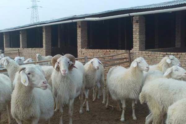 12月羊价还会上涨吗?今日活羊价格市场价格及行情