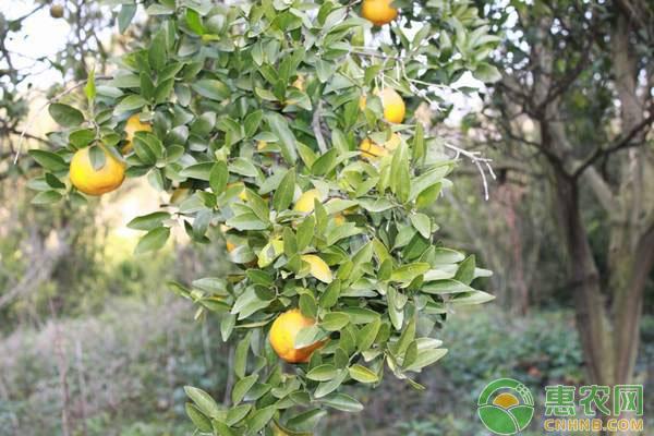 柑橘花萎病的出现