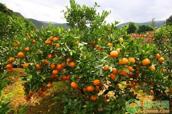 柑橘花萎病的防治措施
