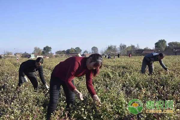 镇原县发展特色种植助农民脱贫致富