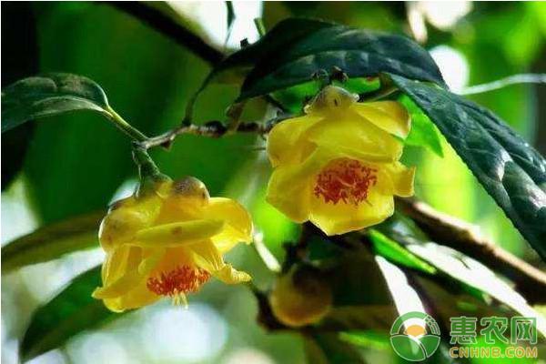 金花茶高效种植技术及病虫害防治方法