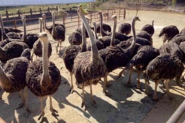 养鸵鸟赚钱吗?鸵鸟养殖前景分析
