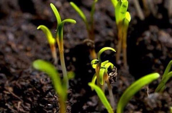 家庭胡萝卜种植方法(附播种窍门)