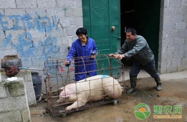 覃志贵夫妇二人通过自制的滑梯合力将猪送上货车