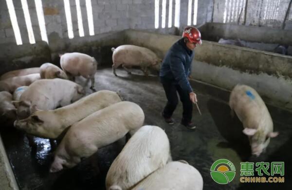 老板在覃志贵的养猪场购买肉猪